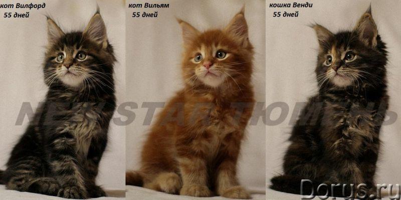 Великолепные котята породы мейн кун - Кошки и котята - Питомник мейн кунов New Star предлагает к рез..., фото 1