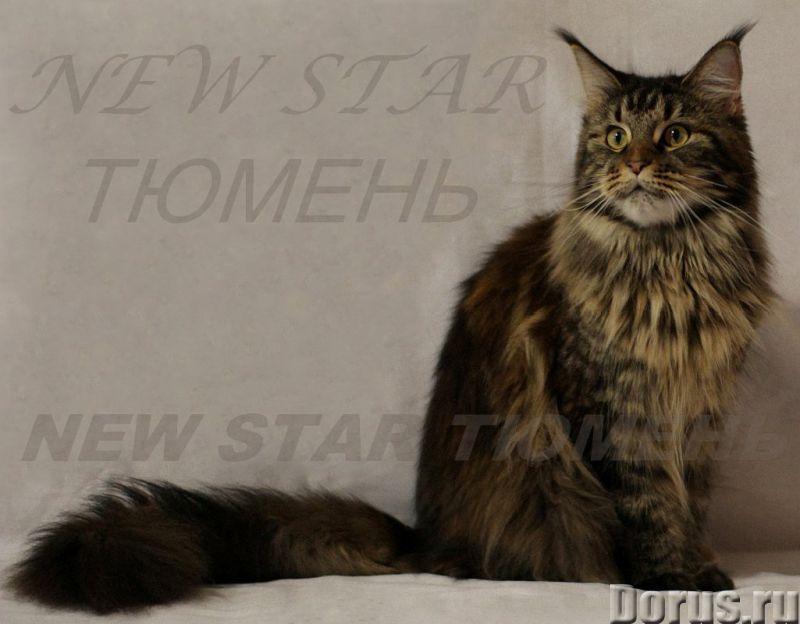 Великолепные котята породы мейн кун - Кошки и котята - Питомник мейн кунов New Star предлагает к рез..., фото 2
